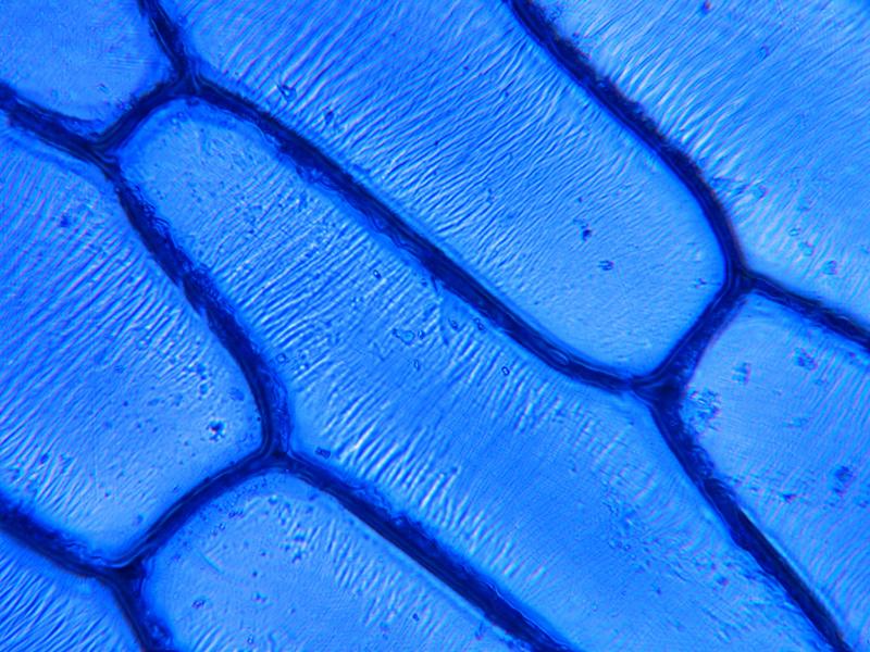 Catafilio de cebolla. Tinción con azul de metileno, a 400x