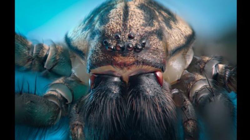 Araña común.