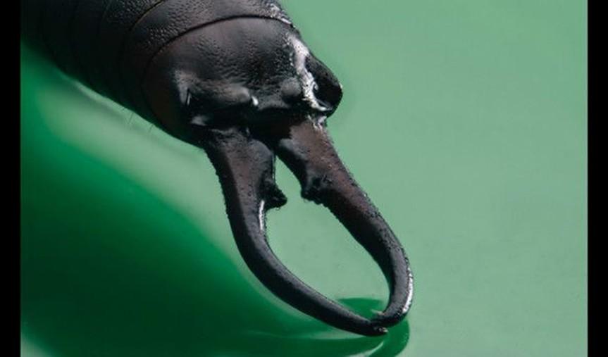 Las tijeretas son conocidas por su capacidad para defenderse de los depredadores haciendo uso de unas grandes estructuras tipo tenazas en sus abdómenes, conocidas como cerci, y por emitir un líquido defensivo.