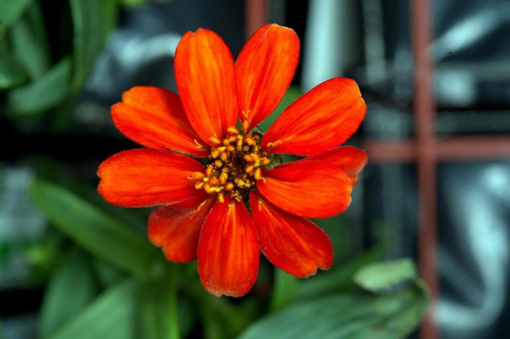 La primera flor cultivada y nacida en el espacio, una zinnia.
