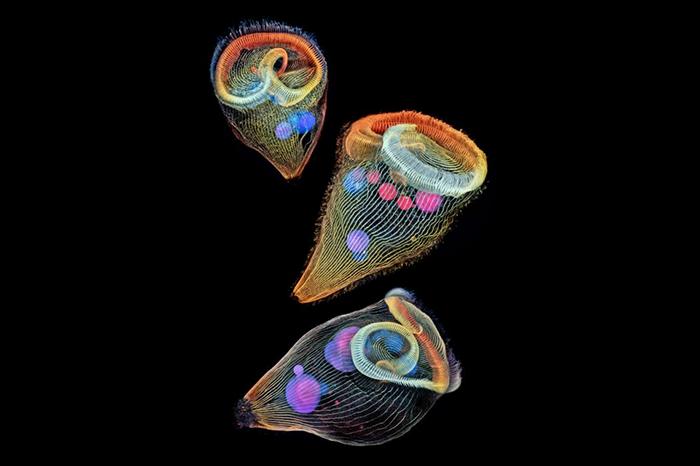El científico investigador del Instituto Médico Howard Hughes, Igor Siwanowicz, codificó con colores estas imágenes de stentors, protozoos de agua dulce unicelulares, para resaltar las formas 3D de las criaturas.  Imagen de Igor Siwanowicz, Howard Hughes Medical Institute (HHMI) Janelia Research Campus