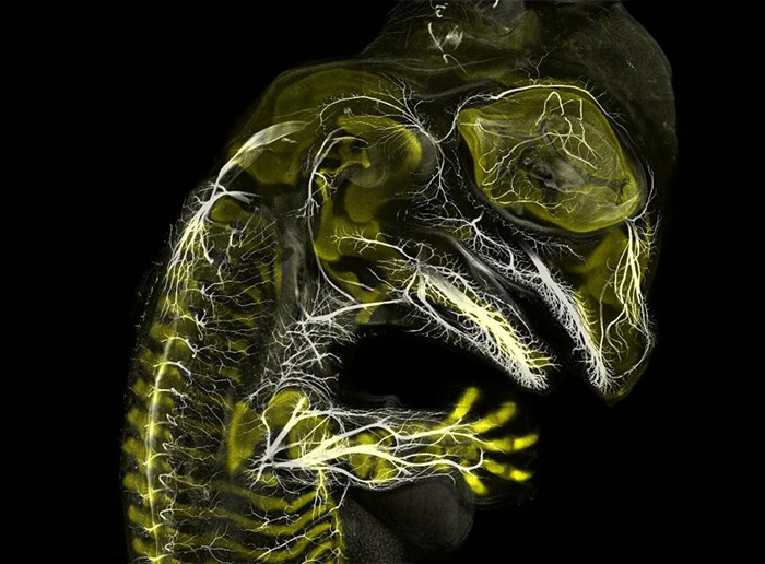 Esta imagen de inmunofluorescencia, capturada por el estudiante graduado de Yale, Daniel Smith Paredes y su asesor Bhart-Anjan Bhullar, revela los nervios y huesos en desarrollo en un embrión de cocodrilo.  Imagen de Daniel Smith Paredes y Bhart-Anjan S. Bhullar, Universidad de Yale, Departamento de Geología y Geofísica.