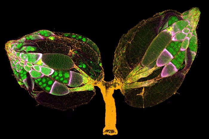 Estas estructuras en forma de hoja son ovarios de una mosca hembra de Drosophila, teñidas para resaltar los núcleos (verde), los filamentos de proteínas (amarillo) y las células foliculares de los ovarios (magenta).  Imagen de Yujun Chen y Jocelyn McDonald, Universidad del Estado de Kansas, Departamento de Biología.