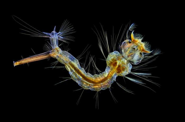 Este pequeño monstruo, una larva de mosquito, fue capturado por la fotógrafa de vida salvaje del Reino Unido Anne Algar.  Fotografía de Anne Algar