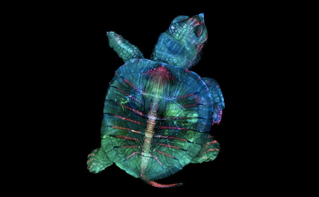 La técnica en microscopía Teresa Zgoda y la estudiante Teresa Kugler, recién graduada del Instituto de Tecnología de Rochester, apilaron y unieron minuciosamente cientos de imágenes para crear este mosaico ganador de un embrión de tortuga fluorescente.  Imagen de Teresa Zgoda y Teresa Kugler